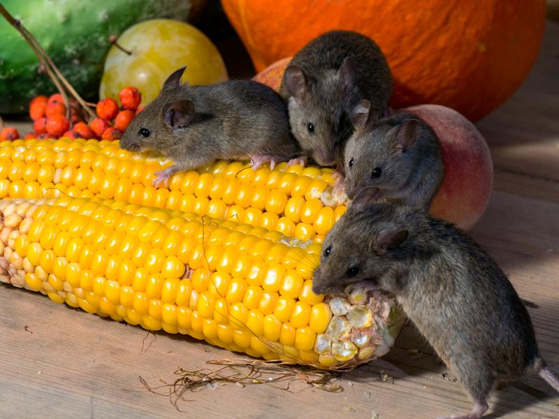 Mäuse_Befall