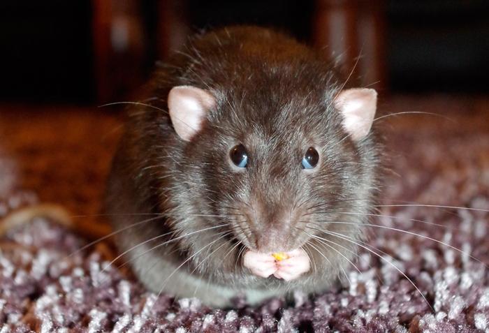 Ratten Aussehen