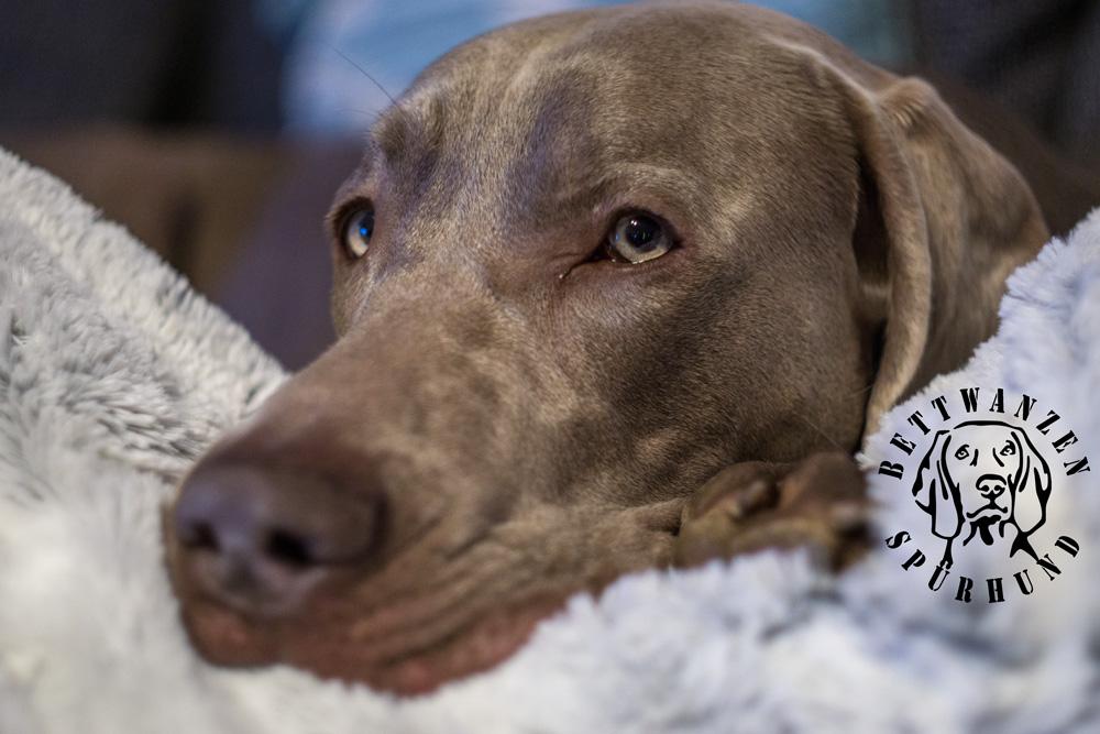 Bettwanzenspürhund, Bettwanzen suche, Bettwanzenbekämpfung